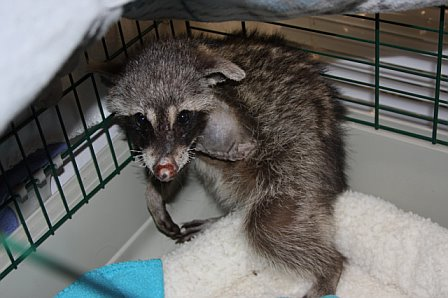 Raccoon With Mange Raccoon with severe mange,