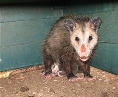 opossum mother with 3 babies