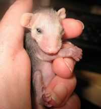 Orphaned Opossum