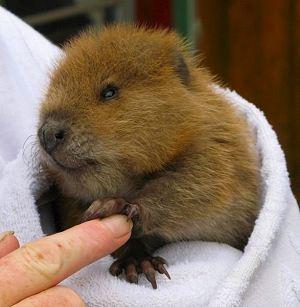 orphaned beaver